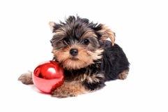 与圣诞节装饰品的逗人喜爱的Yorkie小狗 库存照片
