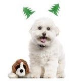 与圣诞节装饰的Bichon Frisé,隔绝在白色 免版税图库摄影