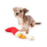 与圣诞节长袜的狗狗 免版税库存照片