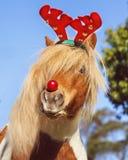 与圣诞节鹿角的小马 库存照片
