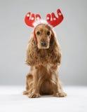 与圣诞节鹿角的狗品种英国西班牙猎狗 免版税库存照片