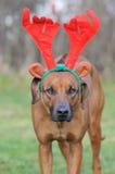 与圣诞节鹿角的狗 免版税库存照片