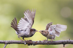 与在一个分支的两只嬉戏的鸟罪恶战斗在公园 库存照片