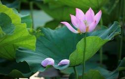 与在一片绿色叶子下落的它的瓣的一朵摧毁的桃红色莲花 免版税图库摄影