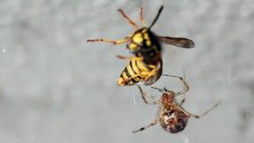 与在万维网捉住的黄蜂的蜘蛛 股票录像