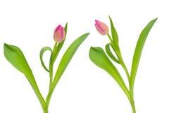 与在与裁减路线的白色背景隔绝的绿色叶子的两朵桃红色郁金香花 图库摄影