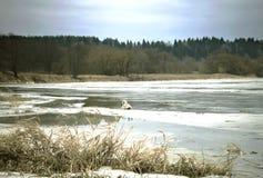 与在冰和一只白色天鹅盖的河的冬天场面在背景中 免版税库存照片