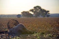 与在干燥领域暴露的胸廓的死的绵羊 免版税图库摄影