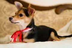 与在床上的红色丝带的小逗人喜爱的画报狗看对妇女特写镜头图片 免版税库存图片