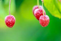与在日出之后的杀虫剂盆射的樱桃 免版税库存图片