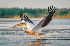 与在日出的飞溅巨大白色鹈鹕作为在 免版税库存图片