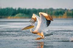 与在日出的飞溅巨大白色鹈鹕作为在 库存照片