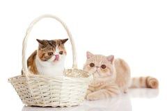 与在白色与大眼睛的背景滑稽的宠物隔绝的篮子的两只猫 库存照片