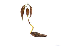 与在白色和新鲜的叶子的芒果幼木隔绝的种子 图库摄影