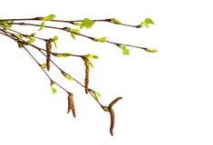 与在白色和新鲜的绿色叶子的桦树分支隔绝的柔荑花 图库摄影