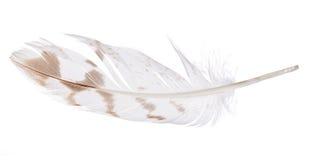 与在白色查出的褐斑病的轻的羽毛 库存照片