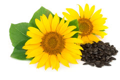 与在白色背景和叶子的两个向日葵隔绝的种子 库存图片