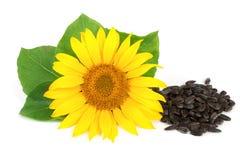 与在白色背景和叶子的向日葵隔绝的种子 库存照片