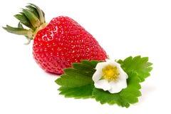 与在白色背景和叶子的草莓隔绝的花 免版税库存照片