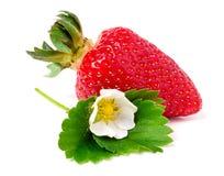 与在白色背景和叶子的草莓隔绝的花 库存照片