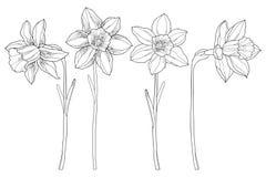 与在白色背景或黄水仙的传染媒介集合在黑色开花隔绝的概述水仙 春天设计的花卉元素 向量例证