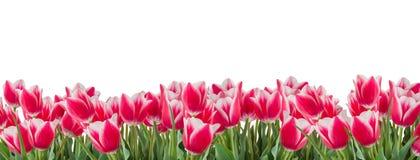 与在白色背景水平地排列和隔绝的绿色叶子的桃红色郁金香 免版税库存图片