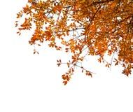 与在白色背景隔绝的五颜六色的秋叶的分支 樱桃李子 图库摄影