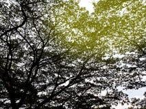 与在白色背景隔绝的光的大树 库存图片