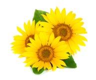 与在白色背景隔绝的叶子的三个向日葵 免版税库存图片
