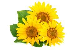 与在白色背景隔绝的叶子的三个向日葵 库存照片