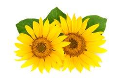 与在白色背景隔绝的叶子的两个向日葵 库存图片