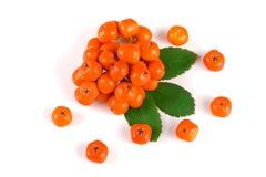 与在白色背景隔绝的叶子的橙色花揪 顶视图 图库摄影