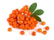 与在白色背景隔绝的叶子的橙色花揪 库存图片