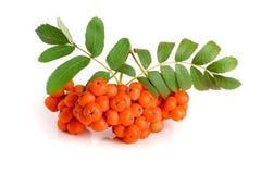 与在白色背景隔绝的叶子的橙色花揪 免版税图库摄影