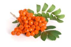 与在白色背景隔绝的叶子的橙色花揪 库存照片
