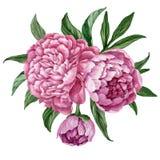 与在白色背景隔绝的开花的牡丹的精妙和柔和的百花香,水彩手画设计 皇族释放例证