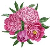 与在白色背景隔绝的开花的牡丹的精妙和柔和的百花香,水彩手画设计 库存例证