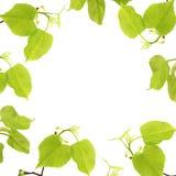 与在白色背景隔绝的椴树分支的春天框架 一张顶上的照片,平的位置,顶视图 春天心情假日 库存图片