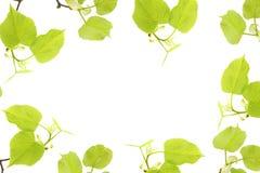 与在白色背景隔绝的椴树分支的春天框架 一张顶上的照片,平的位置,顶视图 春天心情假日 免版税库存照片
