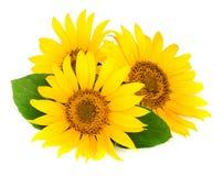 与在白色背景隔绝的叶子的三个向日葵 库存图片