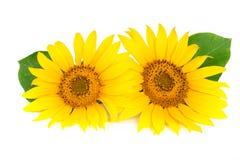 与在白色背景隔绝的叶子的两个向日葵 免版税库存照片