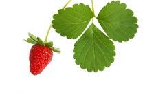 与在白色背景隔绝的叶子的新鲜的草莓 免版税图库摄影