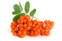 与在白色背景隔绝的叶子的橙色花揪 免版税库存照片
