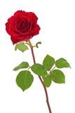 与在白色背景隔绝的叶子的红色玫瑰 库存图片