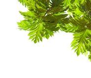 与在白色背景隔绝的大叶子的热带树枝 面包树果风险hdr长期被处理的射击结构树 视图从下面 库存照片
