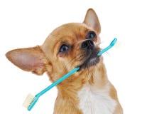 与在白色背景隔绝的牙刷的红色奇瓦瓦狗狗。 库存图片