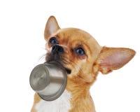 与在白色背景隔绝的碗的红色奇瓦瓦狗狗。 免版税库存照片