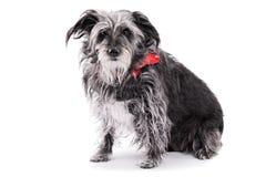 与在白色背景隔绝的红色丝带的逗人喜爱的狗 库存图片