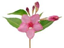 与在白色背景隔绝的芽的桃红色锦带花花 库存照片