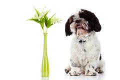 与在白色背景隔绝的铃兰的狗 下雨 库存图片